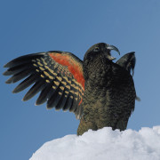 New Zealand kea-small