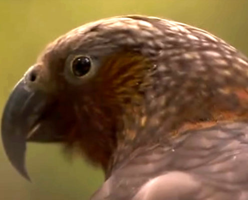 Nerw Zealands birds poisoned