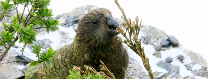 New Zealand government poisons kea