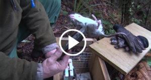 Conservation-Dept-Tackles-Rat-Plagues