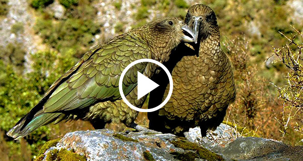 New-Zealand-Government-poisons-Kea