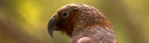 Nerw Zealands birds poisoned